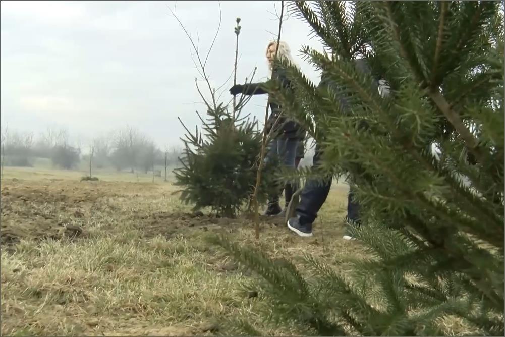 Заинтересовани грађани могу да засаде новогодишње јелке у парку сваког радног дана од 7 до 15 часова